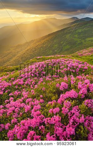Mountain landscape with a beautiful sunset. The sun hidden behind clouds. Glade of blossoming rhododendrons. Beautiful pink flowers. Carpathian Mountains, Ukraine