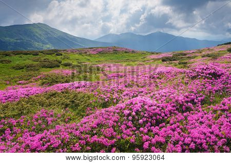 Mountain landscape with a large meadow of pink flowers. Blooming Rhododendron in cloudy weather. Carpathian Mountains, Ukraine