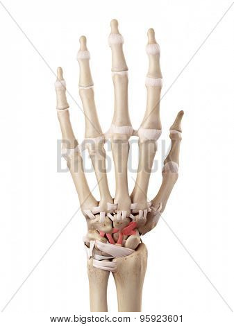 medical accurate illustration of the dorsal intercarpal ligaments