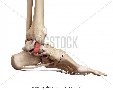 medical accurate illustration of the tibiocalcaneal ligament