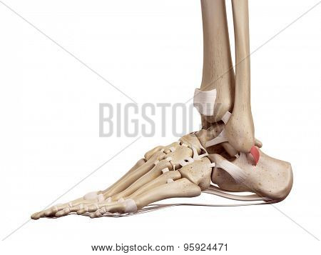 medical accurate illustration of the superior peroneal retinaculum ligament