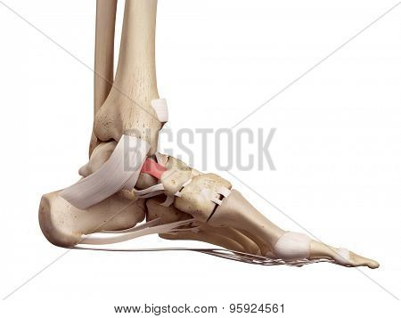 medical accurate illustration of the tibeonavicular ligament
