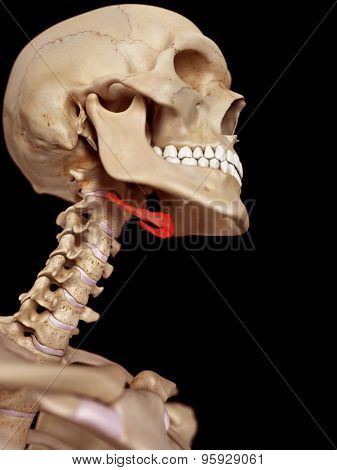 medical accurate illustration of the hyoid bone