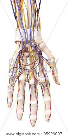 medical accurate illustration of the hand anatomy
