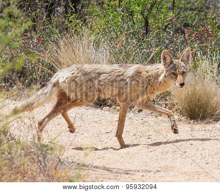 Coyote In The Desert