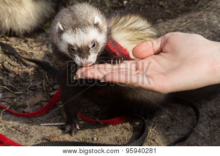 Ferret and Girl hand.
