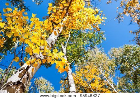 Birch Trees With Yellow Leaves In Autumn Forest Against The Blue Sky