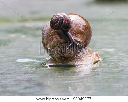 Helix Pomatia Edible Snail With Fruticicola Fruticum On Shell