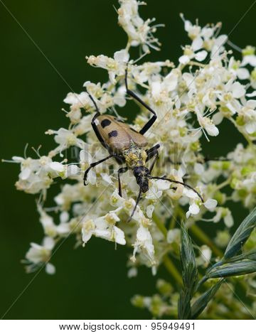 Spotted Longhorn Beetle On A Blooming Meadowsweet