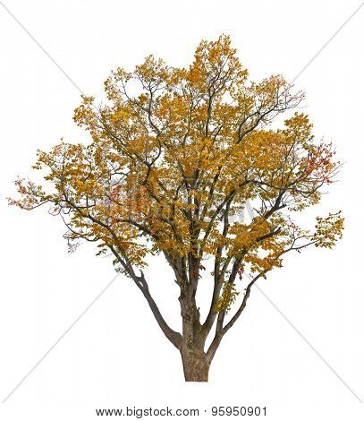 large fall tree isolated on white background