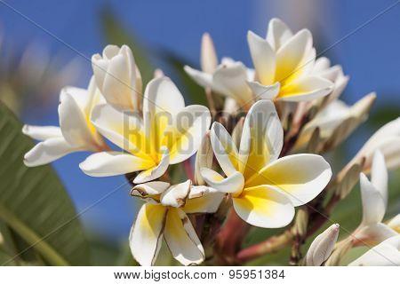 flowers of Frangipani (plumeria flowers)