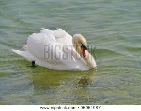 An angry mute swan in the water