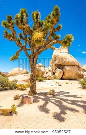 Joshue Tree In The Hidden Valley In Joshua Tree N.p