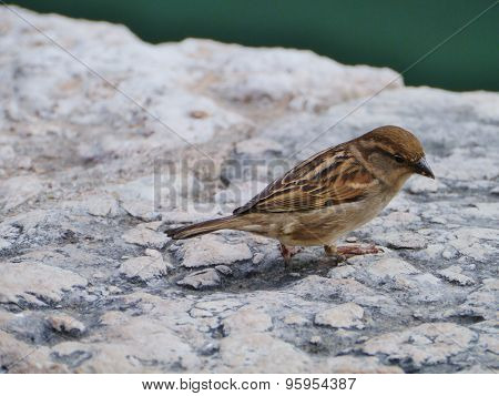 A common house sparrow