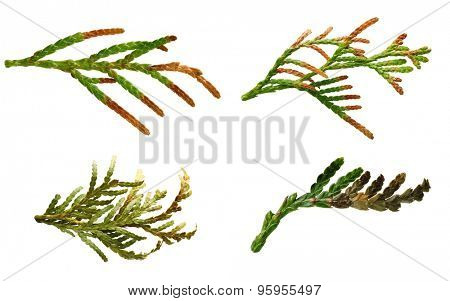 Thuja branch close up with yellow needles isolated on white background