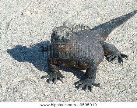 Galapagos iguana death stare found on beach shore