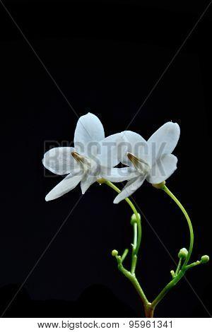 Close Up Of Tropical Fragrant Flower (wrightia Religiosa Benth)