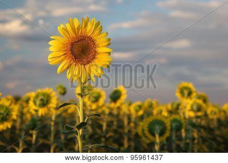 Sunflower portrait. Composition of nature.