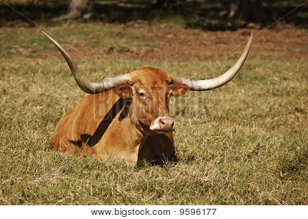 Texas Longhorn Cow In Pasture