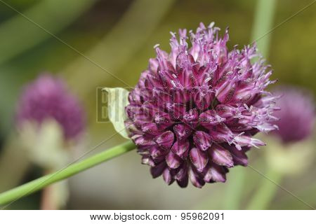 Round-headed Leek Or Bristol Onion