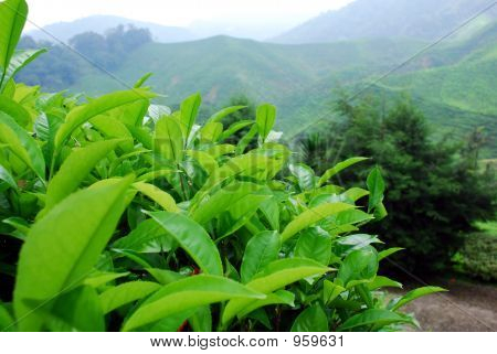 Close Up Of Tea Plants