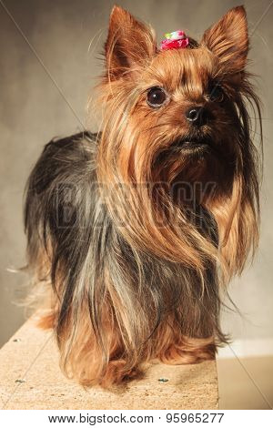 cute  yorkshire terrier puppy dog  standing ona wooded box and looks away from the camera in studio