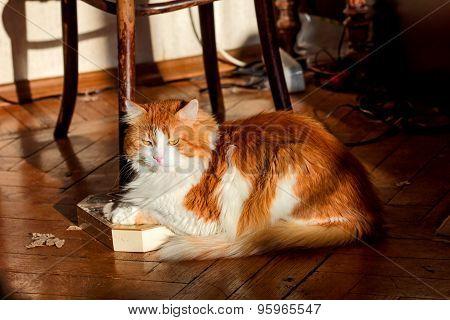 Red Cat On Parquet Floor