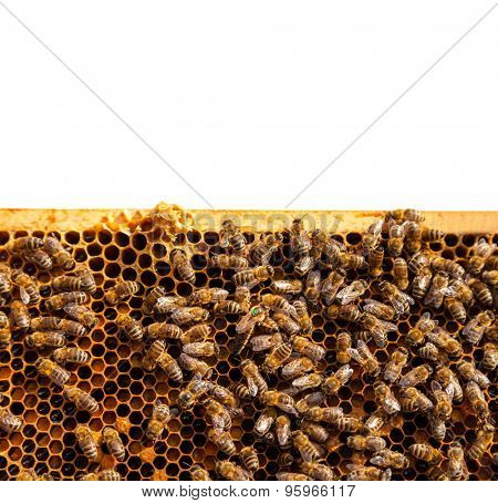 Detail af bees swarm working on honeycomb. Isolated on white background