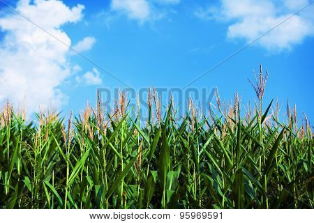 Early autumn corn field with bold blue sky in back ground.