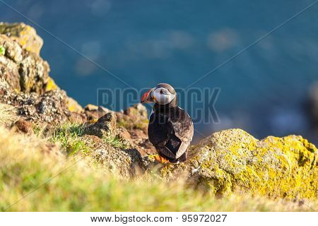 Atlantic Puffin In Western Iceland