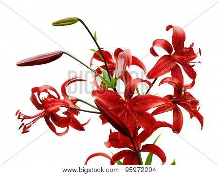 red tiger lily isolated on white background, vector
