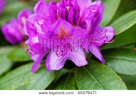 Purple Rhododendrons In The Garden