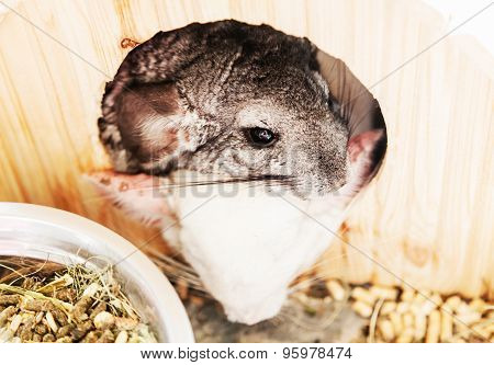 Gray And White Chinchilla Resting In A Wooden House