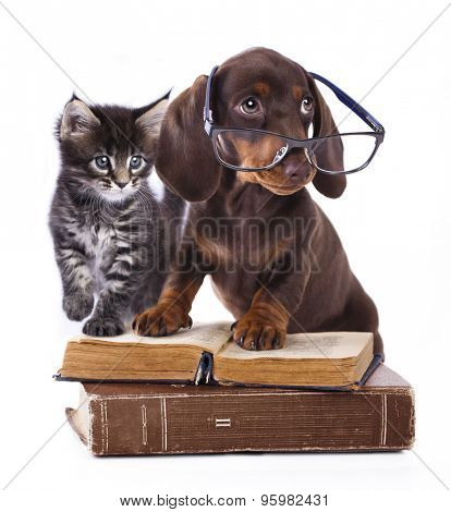 purebred dachshu  in glasses and kitten