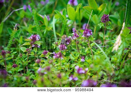 Wild Thymus with bee
