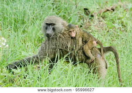 Primate Family
