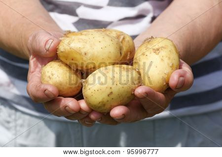Female handful of new potatoes in garden
