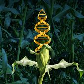 pic of biotechnology  - Genetically modified crops and engineered food agriculture concept using biotechnology and genetics manipulation through biology science as a corn plant in a crop field with a DNA strand symbol in the vegetable as an icon of produce technology - JPG