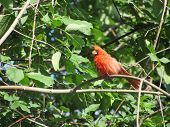 picture of cardinals  - A red cardinal perching on a tree branch in the early morning - JPG