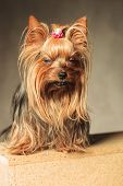 pic of yorkshire terrier  - cute  yorkshire terrier puppy dog  posing with eyes closed in studio - JPG