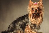 image of yorkshire terrier  - side view of a cute yorkshire terrier puppy dog with mouth open looking at the camera on grey studio background - JPG