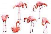 stock photo of flamingo  - Six pink flamingos isolated on white background - JPG