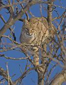 stock photo of bobcat  - a bobcat basks in the early morniing sun at quivira national wildlife refuge in central kansas usa  - JPG