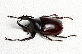 picture of rhino  - Rhinoceros beetle - JPG