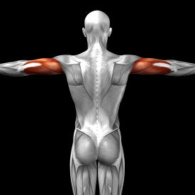 foto of triceps brachii  - Concept or conceptual 3D triceps human anatomy or anatomical and muscle isolated on black background - JPG