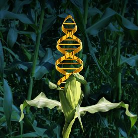 pic of food plant  - Genetically modified crops and engineered food agriculture concept using biotechnology and genetics manipulation through biology science as a corn plant in a crop field with a DNA strand symbol in the vegetable as an icon of produce technology - JPG