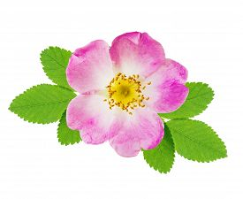 foto of wild-brier  - Pink flower of wild rose with green leaves isolated over white background - JPG