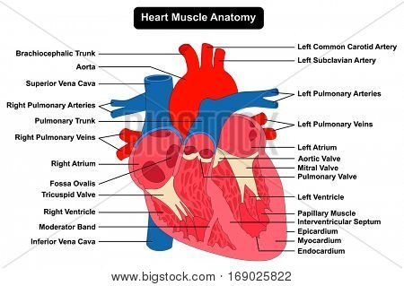 Human Heart Muscle Anatomy infographic chart figure with all parts ...