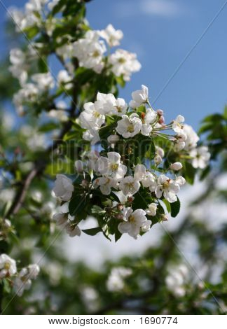 Branch With White Colors Of An Apple-Tree On A Background Of The Blue Sky