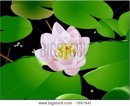 Beautiful Lily Lotus